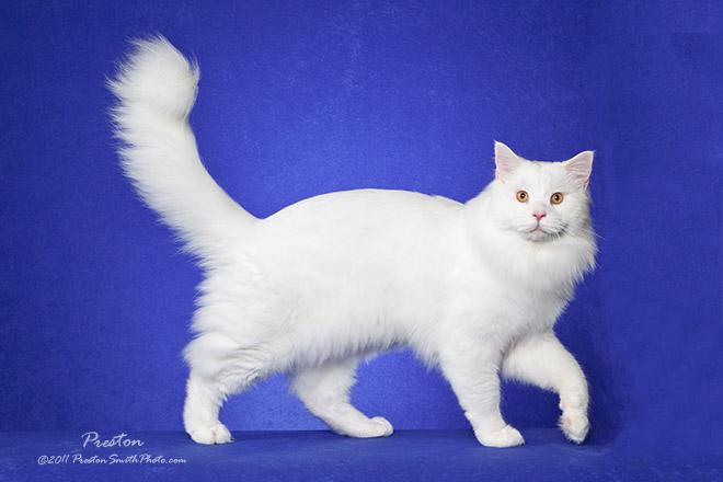 Buctales Maine Coons
